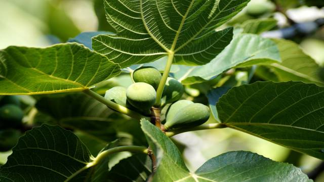 The Fig Tree In The Bible